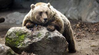 Budapest, 2015. február 2. A Fõvárosi Állat- és Növénykert egyik barnamedvéje 2015. február 2-án. A népi idõjóslás szerint a medvék február másodikán jönnek elõ a barlangjukból, és az alapján, hogy ekkor meglátják-e az árnyékukat, következtetéseket lehet levonni a tél hosszát illetõen. MTI Fotó: Mohai Balázs