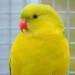hegyi-papagaj.jpg