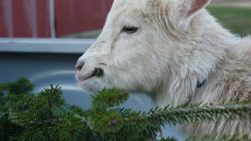 Nigerian goat eating Christmas tree out of the back of a truck