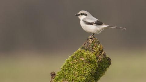 Northern Shrike, the Butcher Bird, Lanius excubitor, Great Grey, Gray Shrike