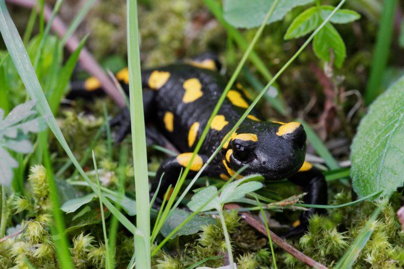 Fire salamander (Salamandra salamandra) in a wild nature