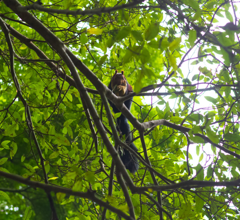 Malabar Giant Squirrel in a Tree. Near Suruli falls