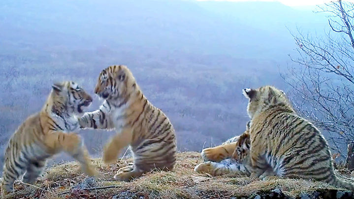 Camera trap in the Far East of Russia captured four endangered Amur tiger cubs playing with each other