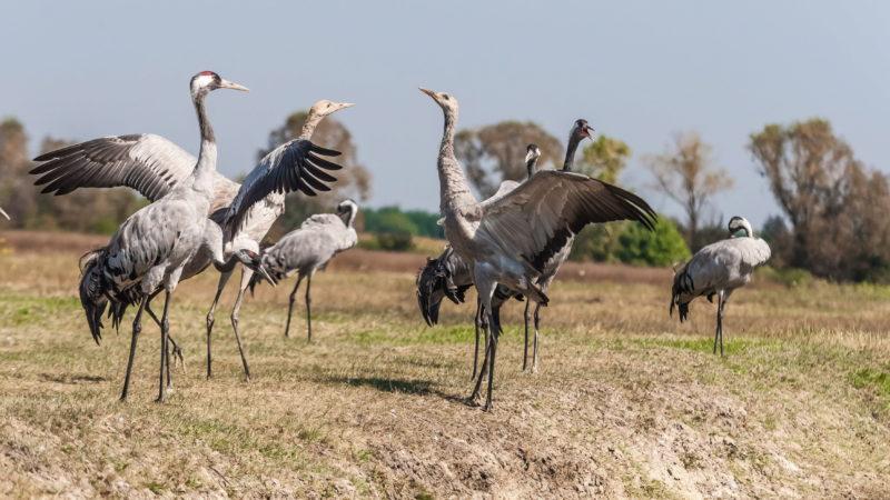 Poroszló, 2016. szeptember 11. Szürke darvak (Grus grus) a Hortobágyi Nemzeti Park területén Poroszló térségében. A Hortobágyi Nemzeti Park hazánk elsõ nemzeti parkja, melyet 1973. január 1-én hozott létre az Országos Természetvédelmi Hivatal. A Hortobágy szinte egész Európa legkedveltebb állomása a vonuló madarak körében. Évente majd 160 000 egyed fordul meg ebben a térségben a daruvonulás idõszakában. A madarak innen folytatják vándorútjukat Észak-Afrika és Dél-Európa irányába. MTVA/Bizományosi: Faludi Imre  *************************** Kedves Felhasználó! Ez a fotó nem a Duna Médiaszolgáltató Zrt./MTI által készített és kiadott fényképfelvétel, így harmadik személy által támasztott bárminemû – különösen szerzõi jogi, szomszédos jogi és személyiségi jogi – igényért a fotó készítõje közvetlenül maga áll helyt, az MTVA felelõssége e körben kizárt.