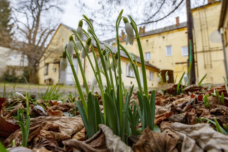 Nagykanizsa, 2019. február 3. Hóvirág nyílik Nagykanizsán egy társasház udvarán 2019. február 3-án. MTI/Varga György