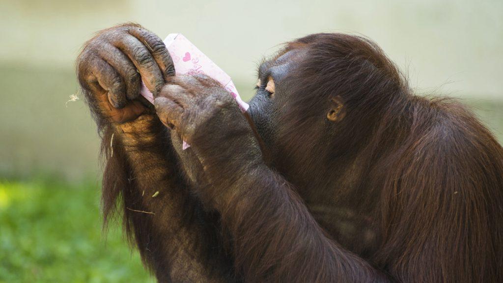 Budapest, 2017. augusztus 18. Maya, a 12 éves borneói orángután (Pongo pygmaeus) a Magyarországon csak itt látható, nyolc egyedbõl álló család tagja falatozik az orángutánok világnapján a Nyíregyházi Állatparkban 2017. augusztus 18-án. Drasztikus állománycsökkenésük miatt 2016-ban a Természetvédelmi Világszövetség (IUCN) kritikusan veszélyeztetett fajjá nyilvánította a borneói orangutánt. MTI Fotó: Balázs Attila