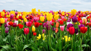 A colorful photo of a tulip flowers in the spring time tulip bloom at Wooden Shoe Tulip Farm, Oregon, USA.
