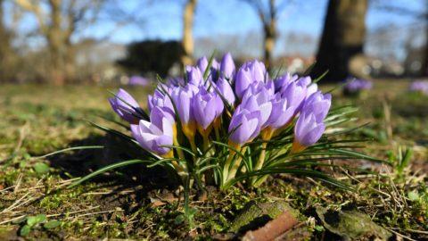 Szczecin, 2019. február 16. Nyíló krókuszok egy parkban, az északnyugat-lengyelországi Szczecinben 2019. február 16-án. MTI/PAP/Marcin Bielecki