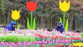 Szogvipo, 2019. február 27. Látogatók csodálják a tarka tulipánokat a dél-koreai Dzsedzsu szigetén lévõ Szogvipo arborétumában 2019. február 27-én. MTI/EPA