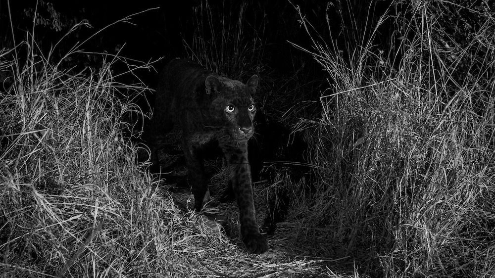 Photographed with a Camtraptions camera trap. Laikipia Wilderness Camp, Kenya.