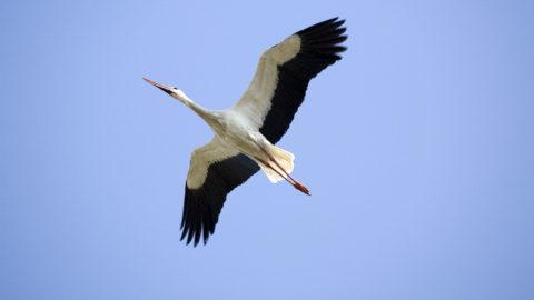 White Storks flying Bulgaria.  Biosphoto / Michel Gunther