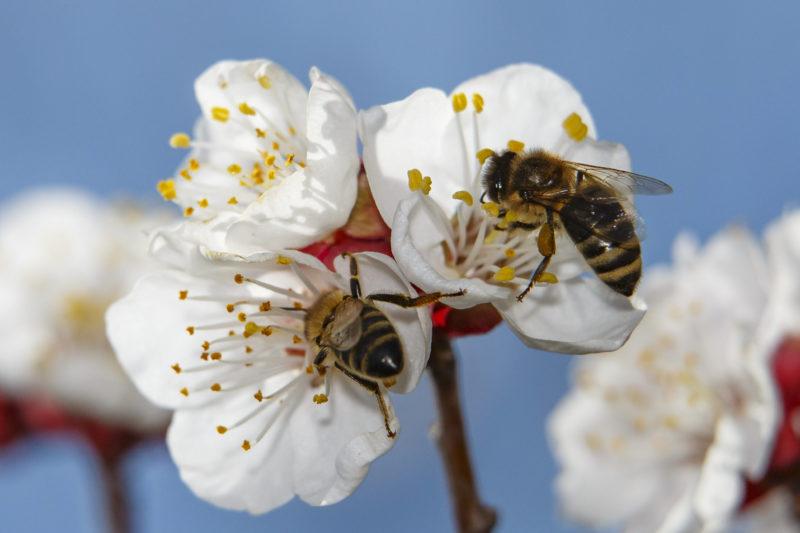 Nagykanizsa, 2019. március 17. Méhek virágport gyûjtenek virágzó almafán a tavaszi melegben Nagykanizsa közelében 2019. március 17-én. MTI/Varga György