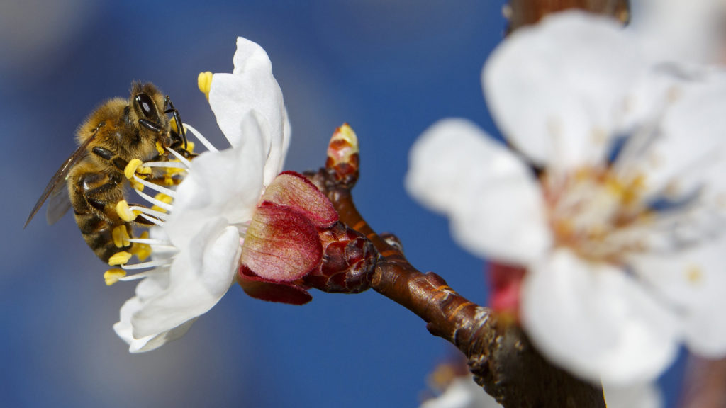 Nagykanizsa, 2019. március 17. Egy méh virágport gyûjt virágzó almafán a tavaszi melegben Nagykanizsa közelében 2019. március 17-én. MTI/Varga György