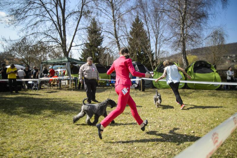 Salgótarján, 2019. március 24. Kutyákat bírálnak a salgótarjáni Tóstrand területén megrendezett CAC Nemzeti Kutyakiállításon 2019. március 24-én. Az év elsõ szabadtéri kutyakiállítására közel 900 kutyát neveztek be. MTI/Komka Péter