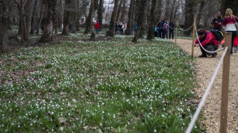 Alcsútdoboz, 2019. március 2. Nyílik a hóvirág az Alcsúti Arborétumban Alcsútdobozon 2019. március 2-án. MTI/Bodnár Boglárka