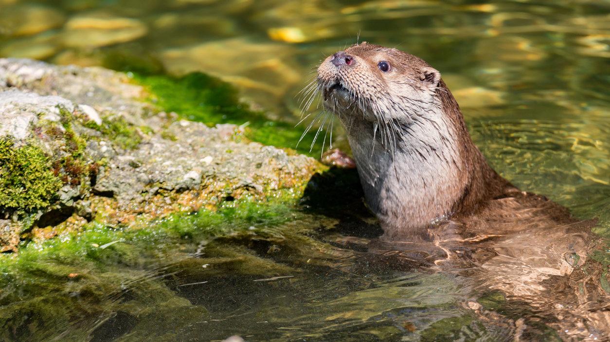 Fischotter im Wasser und sieht freundlich in die Kamera