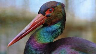 Ein Schwarzstorch. A black stork.