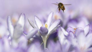 Bern, 2019. február 27. Virágport gyûjt egy mézelõ méh a svájci Bernben egy enyhe tél végi napon, 2019. február 27-én. MTI/EPA/KEYSTONE/Anthony Anex