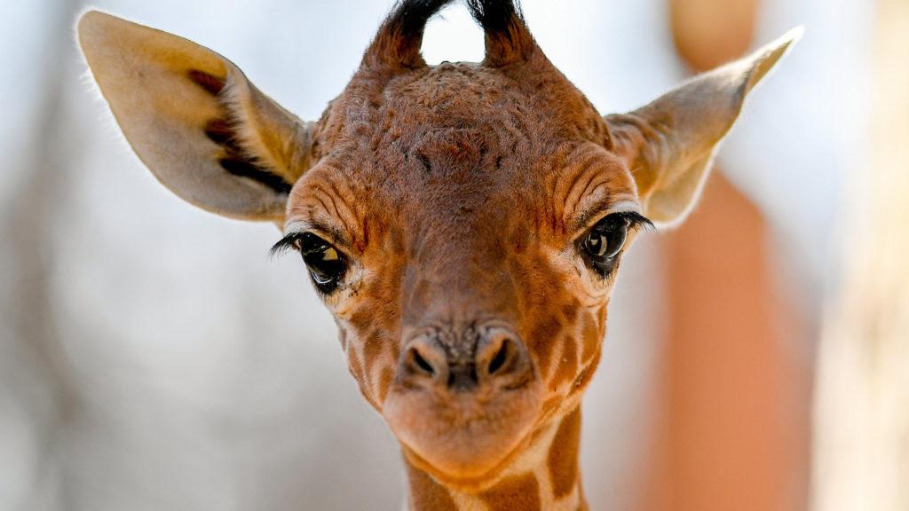 Debrecen, 2019. március 20. A debreceni állatkert két és félhetes recés zsiráfcsikója (Giraffa camelopardalis reticulata) a sajtóbemutató napján, 2019. március 20-án. A recés zsiráf a zsiráf egyik alfaja, Szomáliában, Etiópiában és Kenyában él természetes környezetben. MTI/Czeglédi Zsolt