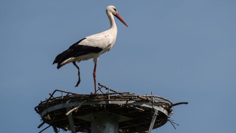 20 April 2018, Germany, Sielen: A one-legged stork sits on its bird's nest. Photo: Swen Pförtner/dpa
