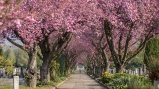 Pécs, 2019. április 9. Virágzó japán cseresznyefák a pécsi köztemetõben 2019. április 9-én. MTI/Sóki Tamás