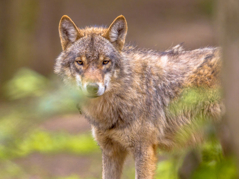 European grey Wolf (Canis lupus) peeking throug leaves vegetation in natural forest habitat looking looking for prey, eye contact