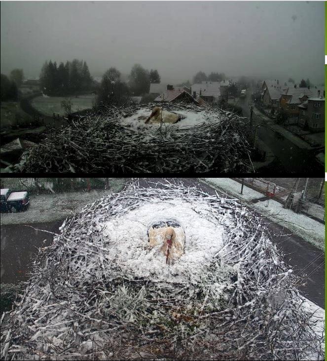 Mozdulatlanul védi tojásait a szakadó hóesésben az anyagólya