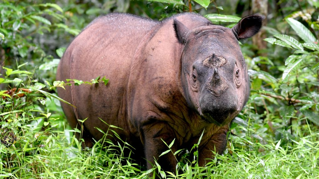 This picture taken on November 8, 2016 shows Andatu, a Sumatran rhino, one of the rarest large mammals on earth, at the Rhino Sanctuary at Way Kambas National Park in eastern Sumatra. - There are no more than 100 left on the entire planet and Andatu -- a four-year old male -- is one of the last remaining hopes for the future of the species. He is part of a special breeding programme at Way Kambas National Park in eastern Sumatra that is trying to save this critically endangered species from disappearing forever. (Photo by GOH CHAI HIN / AFP)