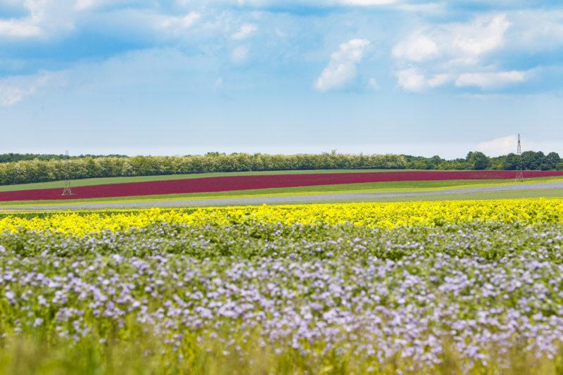 Nemesvámos, 2019. május 26. Virágzó vöröshere, sárga repce és kék facélia Nemesvámos közelében 2019. május 26-án. MTI/Varga György