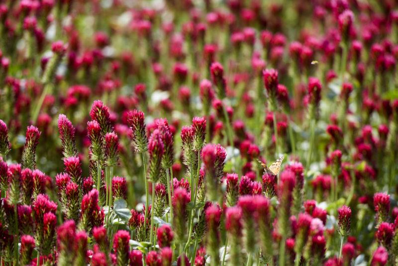 Ságújfalu, 2019. május 19. Virágzik a bíborhere (Trifolium incarnatum) a Nógrád megyei Ságújfalu közelében 2019. május 19-én. MTI/Komka Péter