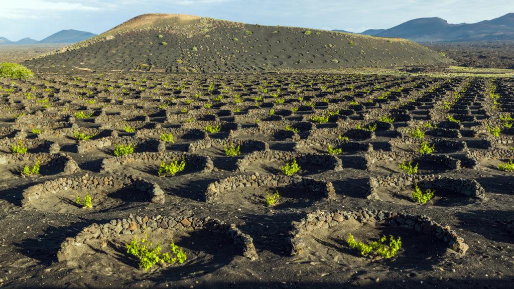 beautiful grape plants grow on volcanic soil in La Geria