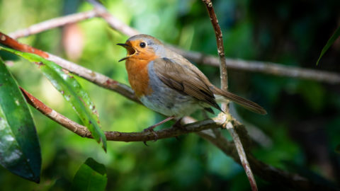 Wrapped within the greens of the wood this little chap sings his heart out