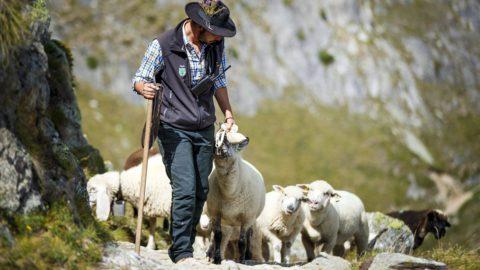Belalp, 2017. augusztus 27. Andre Summermatter juhász érkezik birkanyájjal a svájci Blatten közelében fekvõ Belalpba 2017. augusztus 26-án, mielõtt másnap szétosztják az állatokat tulajdonosaik között. Most van a juhászhétvége, amikor hagyományosan a juhászokat ünneplik, akik háromnapos úton majdnem 800 birkát tereltek le a messze az Aletsch-gleccser fölötti nyári legelõikrõl telelõhelyükre, Belalpba Valais kantonban. (MTI/EPA/Valentin Flauraud)
