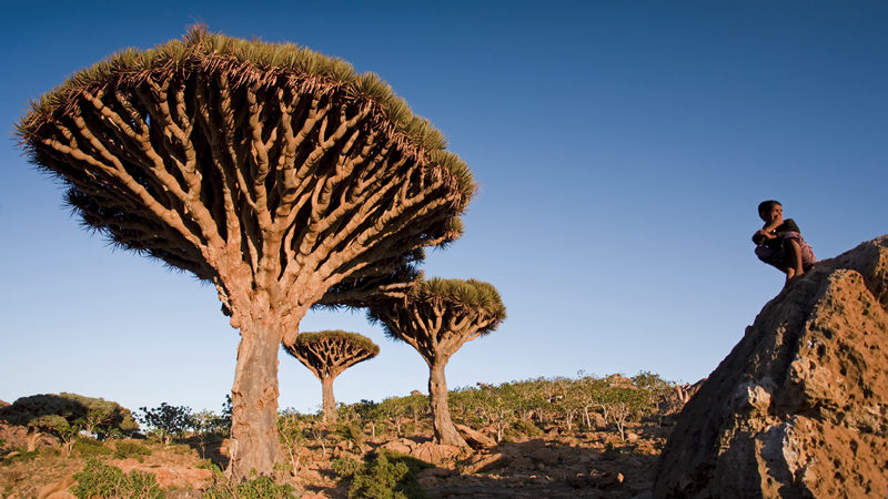 Young boy among Dragonblood trees (Dracaena Cinnabari), Homil Plateau, Socotra Island - Yemen