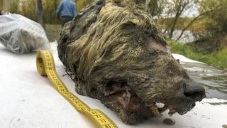 Belaja Gora, 2019. június 14. 2019. június 14-én közreadott kép egy 40 ezer évvel ezelõtt levágott farkasfejrõl Jakutföldön 2018. szeptember 6-án. A Jakut Tudományos Akadémia Mamutkutató Intézetének munkatársai által a Tirekhtyakh folyó partján talált lelet rendkívül jó állapotban van, köszönhetõen a szibériai permafrosztnak, azaz az állandóan fagyott talajnak. Ám a klímaváltozás miatt ott is kiolvad a talaj, és sorra kerülnek elõ az évszázadokkal vagy évezredekkel ezelõtt eltemetõdött és megfagyott élõlények. MTI/AP/Jakut Tudományos Akadémia Mamutkutató Intézet/Albert Protopopov
