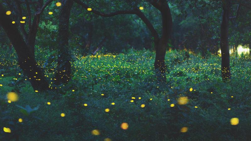 Bokeh light of firefly flying in forest at dusk, Prachin Buri, Thailand