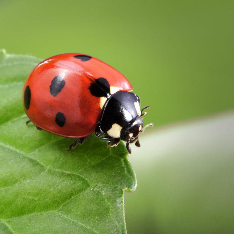 ladybug on leafladybug