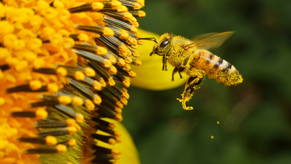A Bee hovering while collecting pollen from sunflower blossom, Thailand.