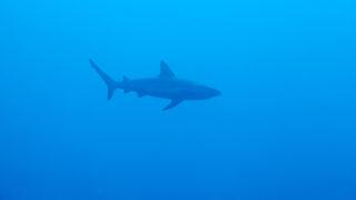 Reef shark. Sipadan island. Celebes sea. Malaysia.