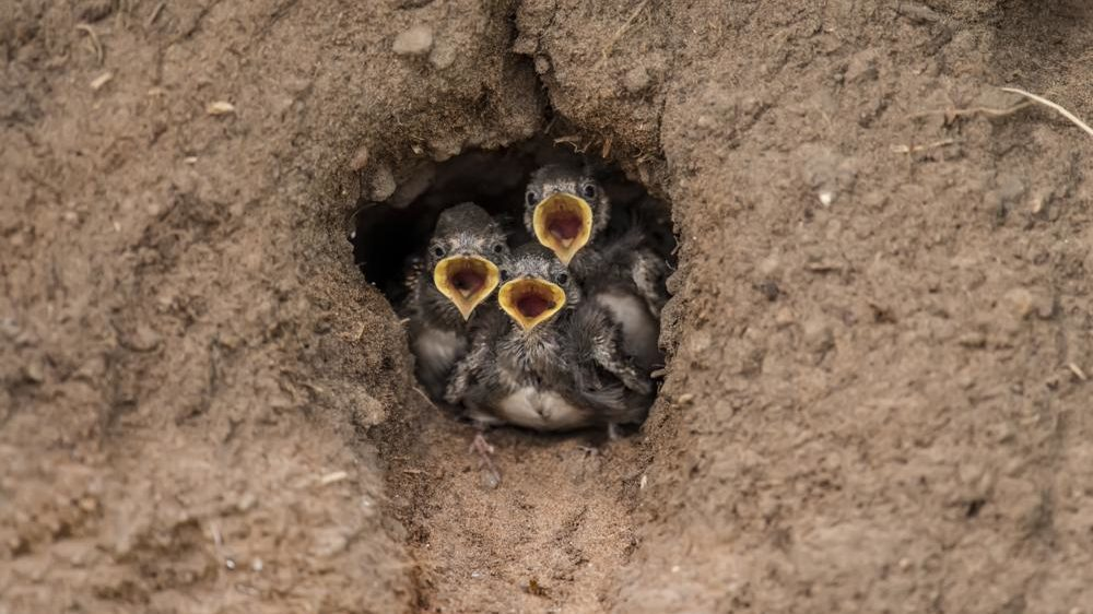 Sand Martins in their nest in a sandbank, calling for food