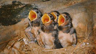 Swallow Birdlings Sitting in a Nest with Open Beaks