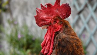 """The rooster """"Maurice"""" stands at Saint-Pierre-d'Oleron in La Rochelle, western France, on June 5, 2019. - A French court is set to rule on June 6, 2019 on whether a lively cockerel should be considered a neighbourly nuisance in a case that has led to shreiks of protest in the countryside. (Photo by XAVIER LEOTY / AFP)"""