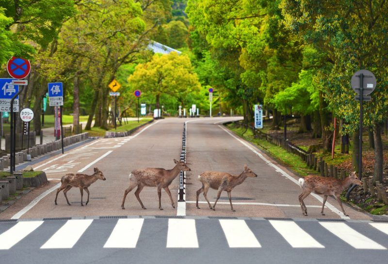 Deer cross the zebra crossing among foreign tourist at Nara Park in Nara on April 25, 2019. They are called Kasuga-no-Shinroku, meaning divine deer of Kasuga, and are messenger of Kasuga Taisha Shrine. They cross the road with people as the signal turns blue, and the scene is similar to the Beatles record Abbey Road jacket so that became a topic of SNS.( The Yomiuri Shimbun )