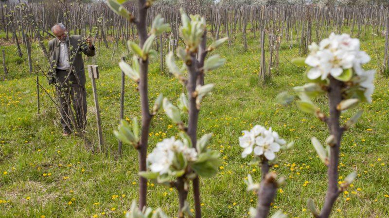 Pórszombat, 2014. április 2. Kovács Gyula pórszombati erdész, a Tündérkert mozgalom egyik kezdeményezõje egy virágzó gyümölcsfacsemetét néz Demes-hegyi birtokán 2014. április 2-án. A mozgalom célja, hogy a Kárpát-medence kihalófélben lévõ õshonos gyümölcsfáit megmentsék. A férfi többéves munkájának köszönhetõen mára több mint kétezer különféle alma-, körte-, szilva-, és barackfacsemete sorakozik a telken. MTI Fotó: Varga György