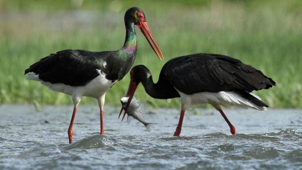 Fekete éve van a fekete gólyáknak   Sokszínű vidék