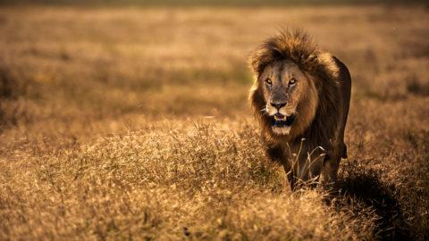 ARUSHA REGION, TANZANIA - JUNE 04, 2017: Adult male lion (Panthera leo) walking on the savanna in Ngorongoro crater, Tanzania, East Africa. June 04, 2017