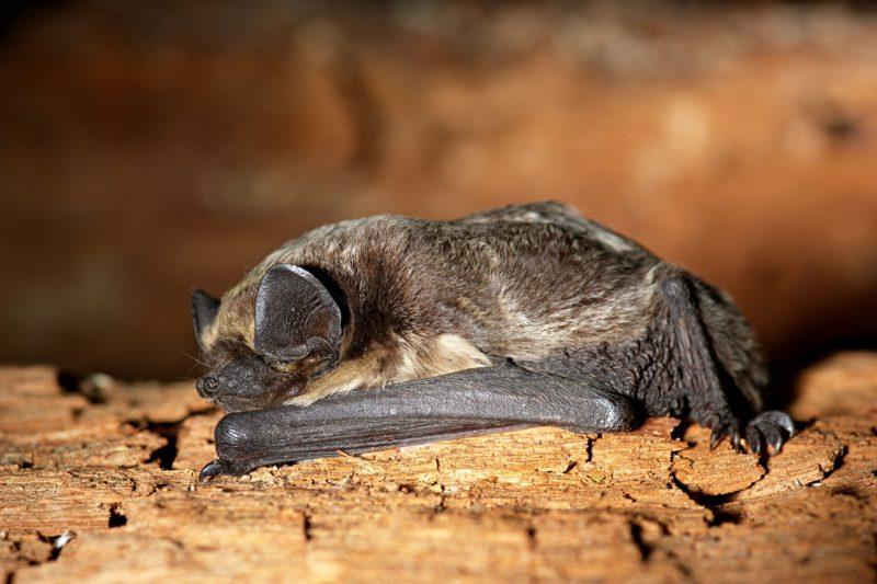 Animalia;Chordata;Vertebrata;Mammalia