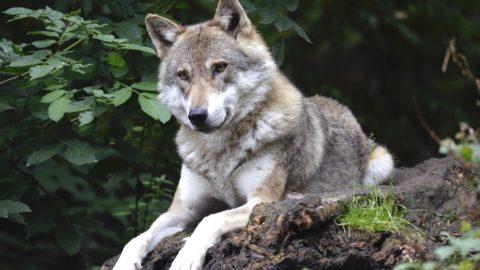 Meg kell tanulni együtt élni a farkasokkal