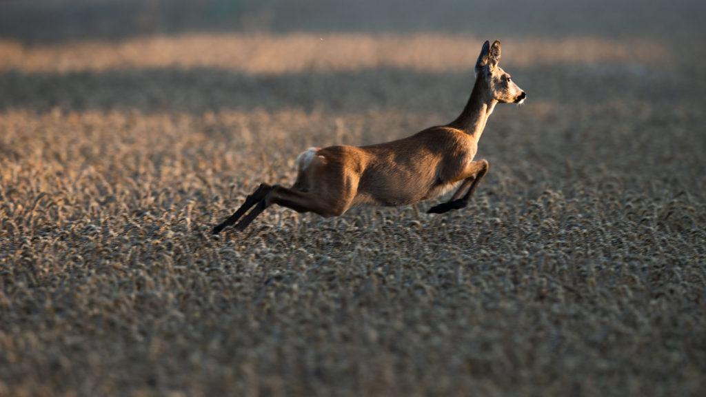 23 July 2019, Bavaria, Erding: A deer jumps through a field at sunrise. Photo: Lino Mirgeler/dpa