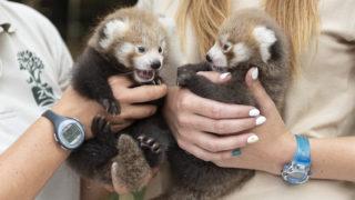 Nyíregyháza, 2019. augusztus 2. Biácsi Alexandra vezetõ állatorvos és Kiss Renáta állatorvosi asszisztens mutatja a hathetes vörösmacskamedve-ikreket (más néven kis panda, Ailurus fulgens) a Nyíregyházi Állatparkban 2019. augusztus 2-án. Az ikreket a látogatók két hét múlva láthatják. A Himalája mérsékelt övi erdõiben, Bhután, Kína, India, Laosz, Mianmar és Nepál területén élõ faj mindenütt védelmet élvez, a Természetvédelmi Világszövetség a súlyosan veszélyeztetett kategóriába sorolta. MTI/MTI Fotószerkesztõség/Balázs Attila